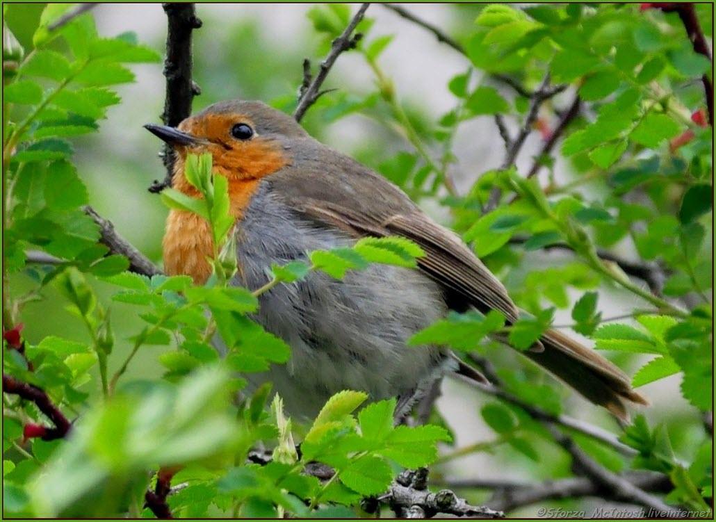 Птица малиновка
