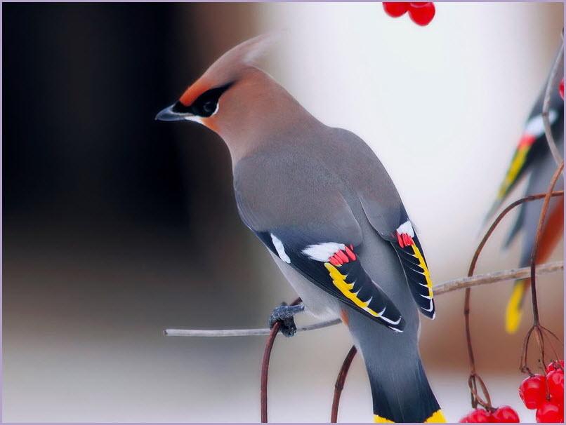 Птица свиристель