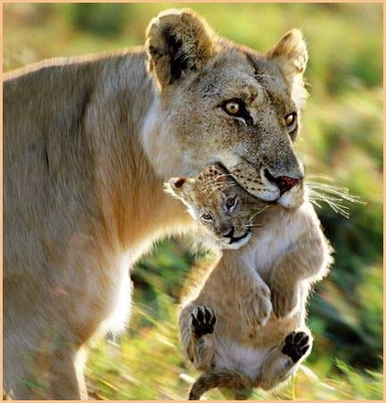 Львица с детёнышем