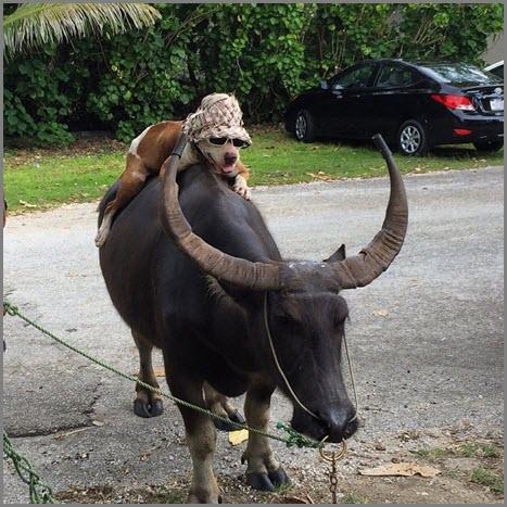 Пёс и буйвол
