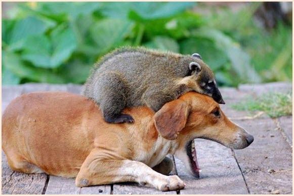 Собака и енот