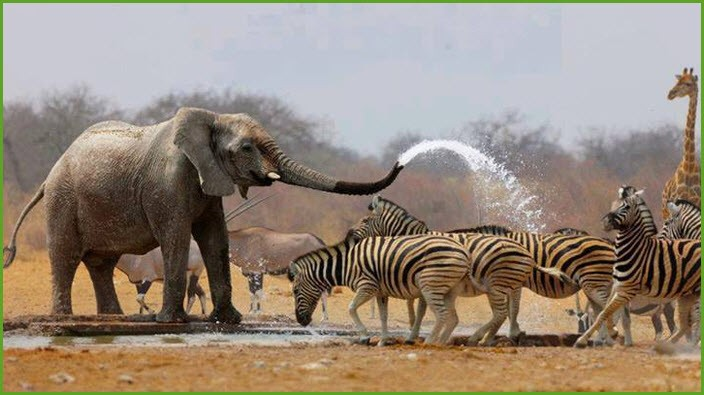 Слон и зебры