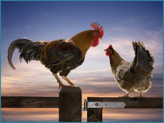 Петух и курица на свидании