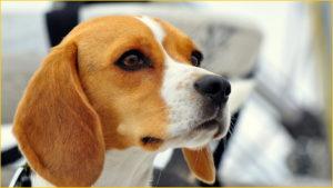 Собака британской породы