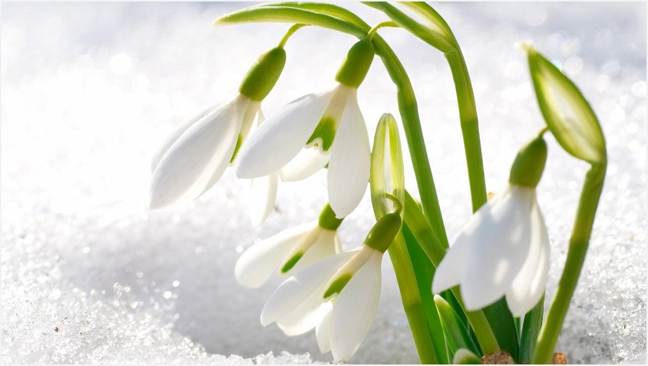 Весна подснежники