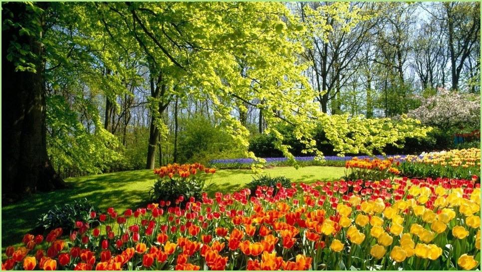 Тюльпаны картинка