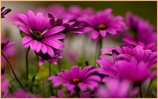 картинка хризантемы
