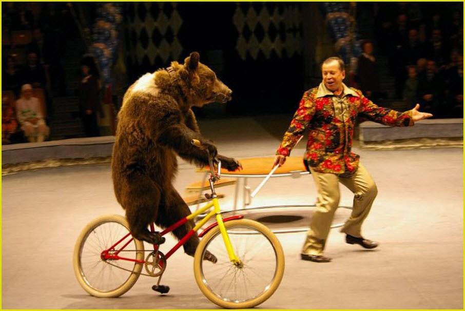 Медведь в цирке