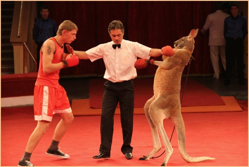 Кенгуру боксёр