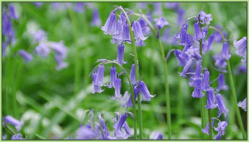 цветы колокольчики