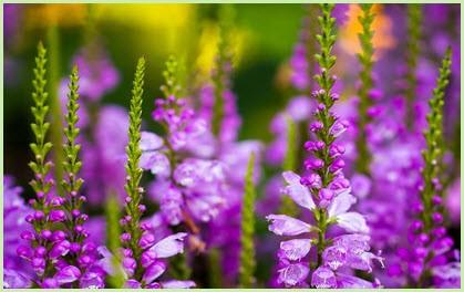 цветы шпорник
