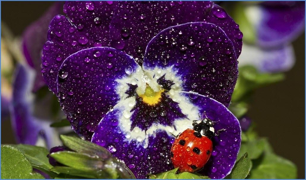 Цветок виола
