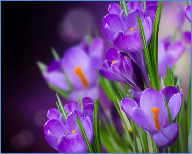 Крокусы первоцветы