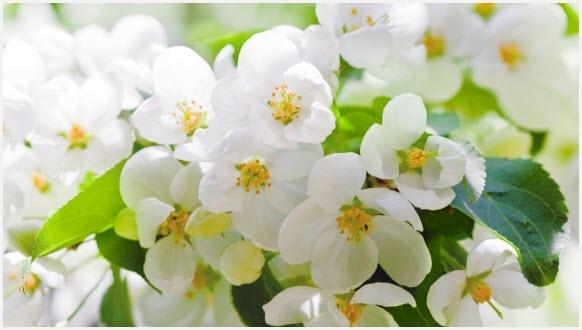 Яблоня цветёт
