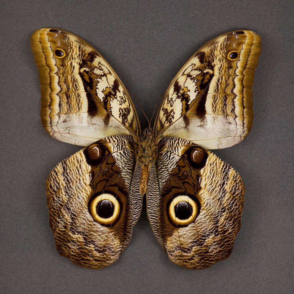 бабочка сова