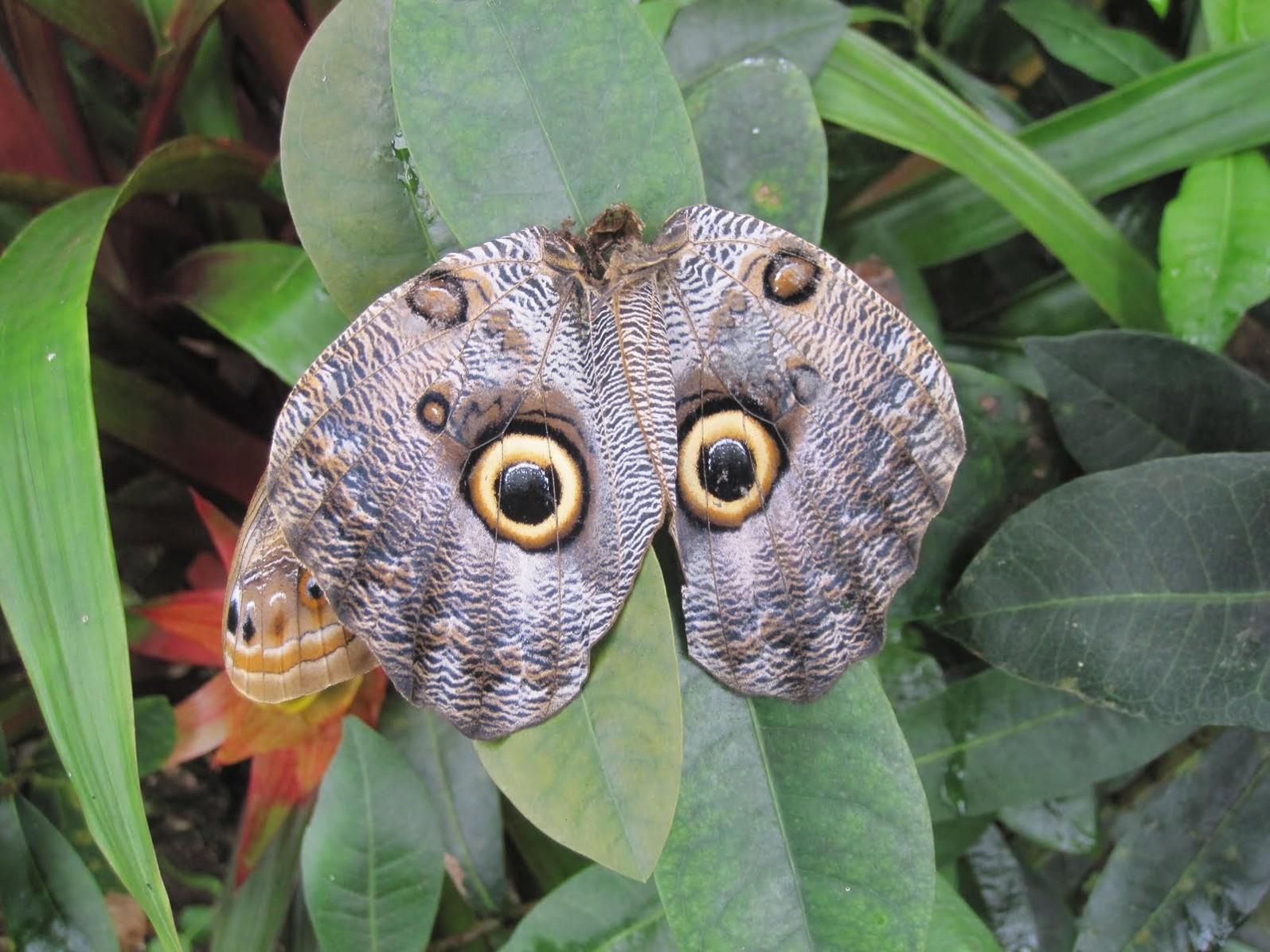 бабочка сова 2