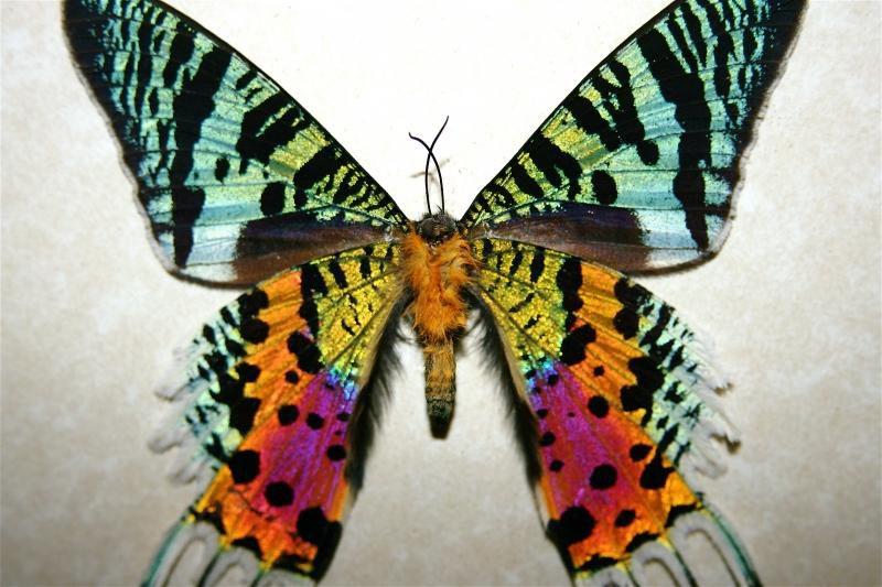 бабочка урания