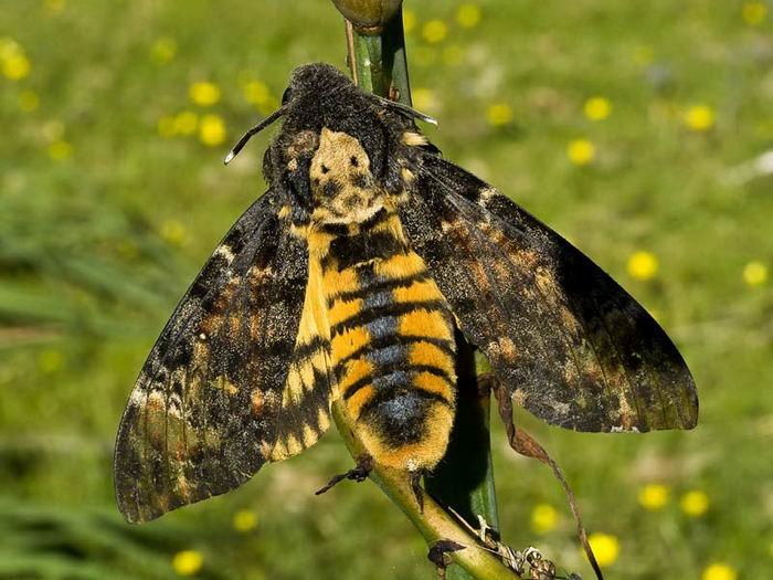 бабочка мёртвая голова 2