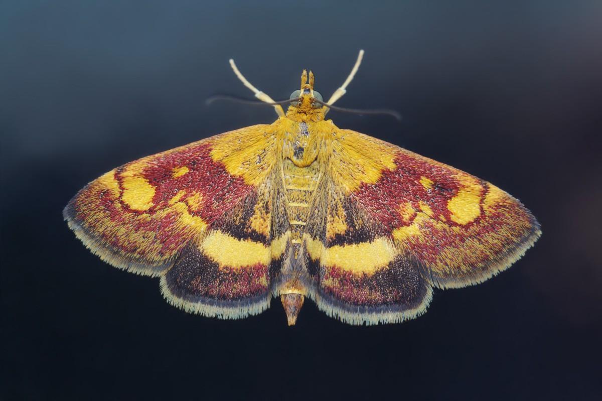 бабочка огневка