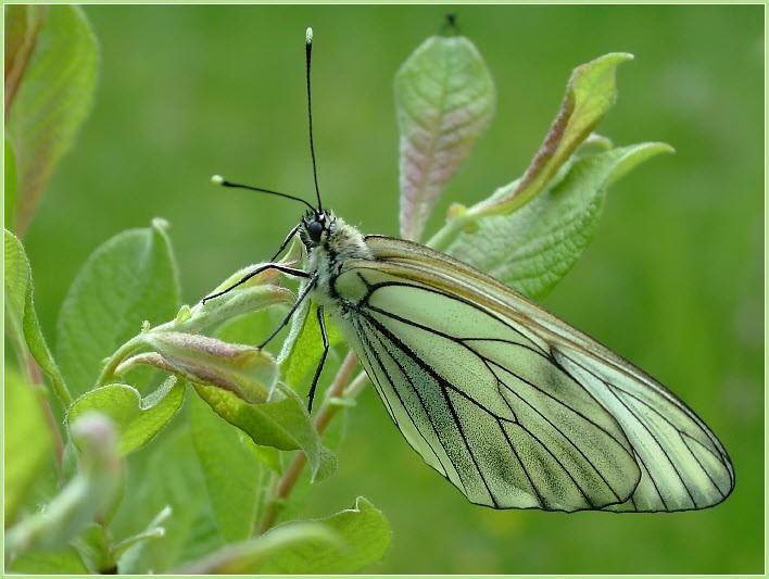 фото бабочка боярышница