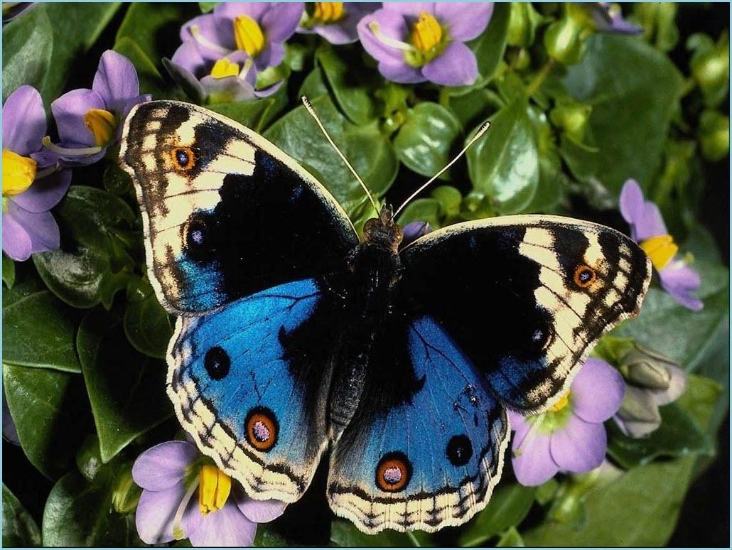 картинка голубая бабочка