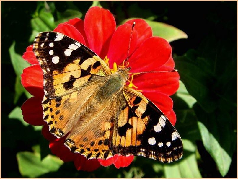 картинка бабочка крапивница
