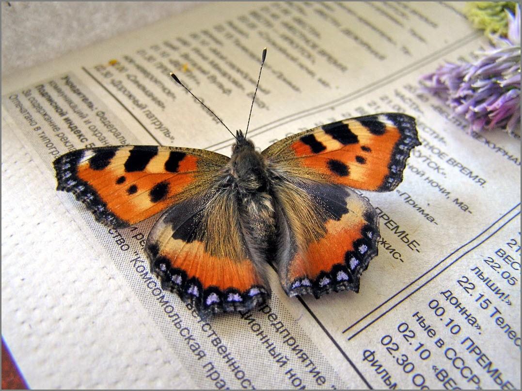 Бабочка на столе