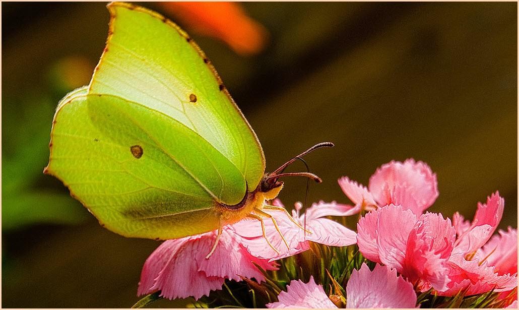 картинка бабочка лимонница