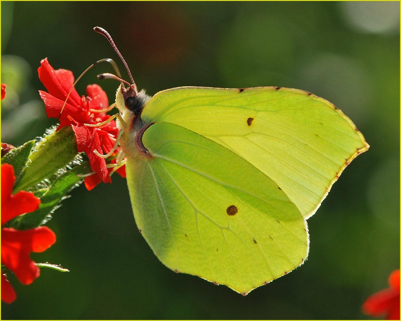 Бабочки лимонницы