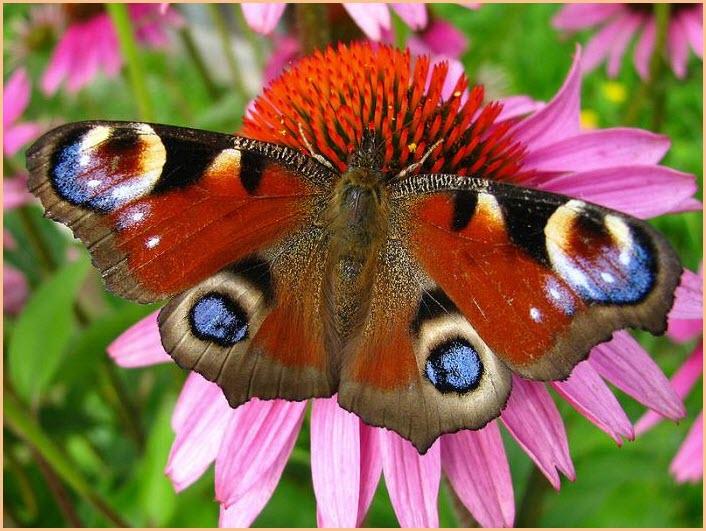 Бабочка павлиний глаз картинка