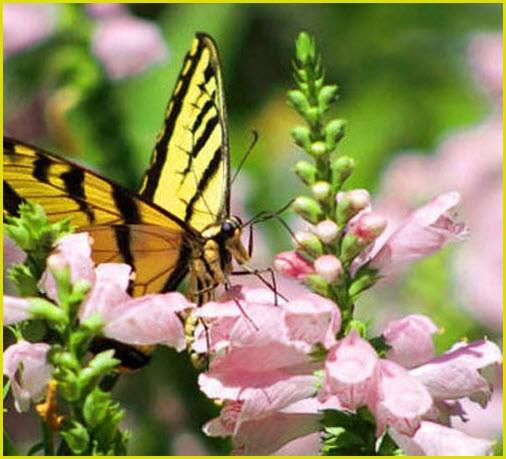 Бабочка тигровый парусник