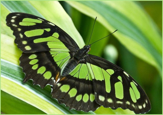фото зелёная бабочка