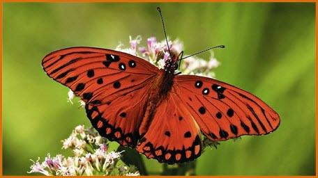 фото красная бабочка