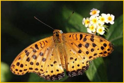 Бабочка перламутровка