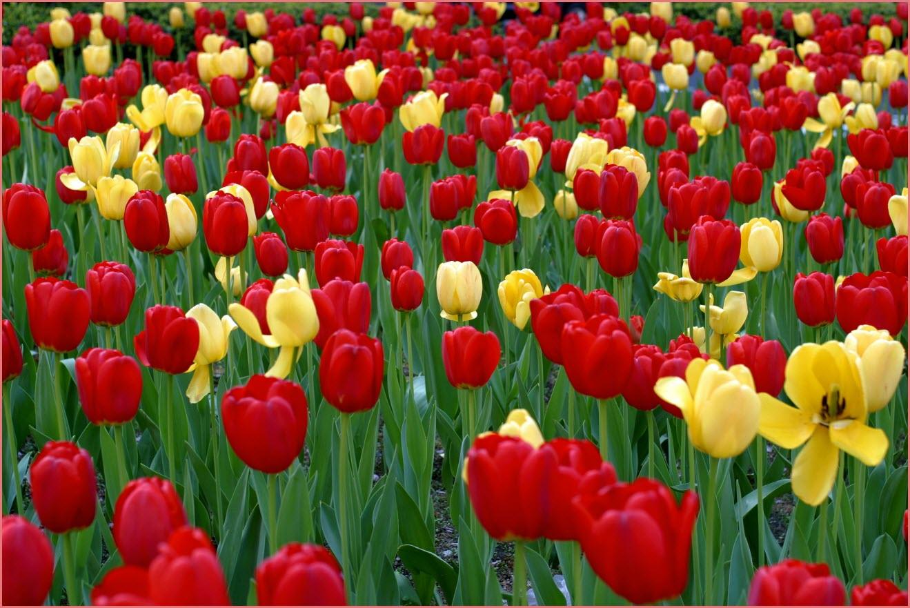 Тюльпаны на аву
