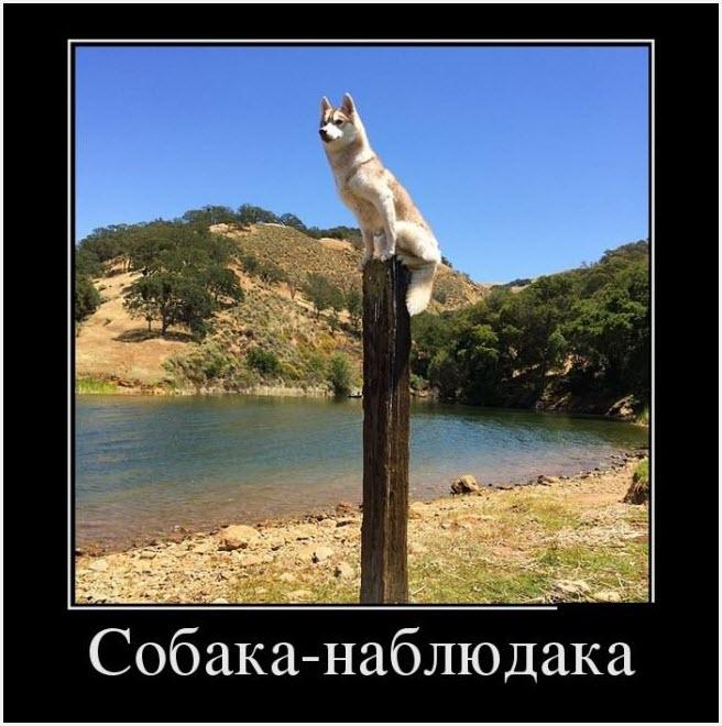 собака наблюдака