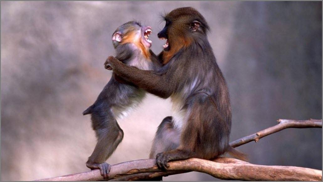 обезьяны смеются