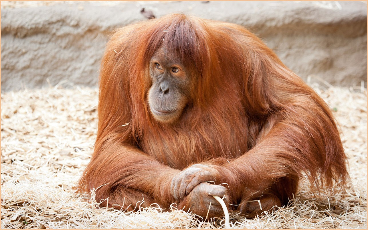 орангутанг фото