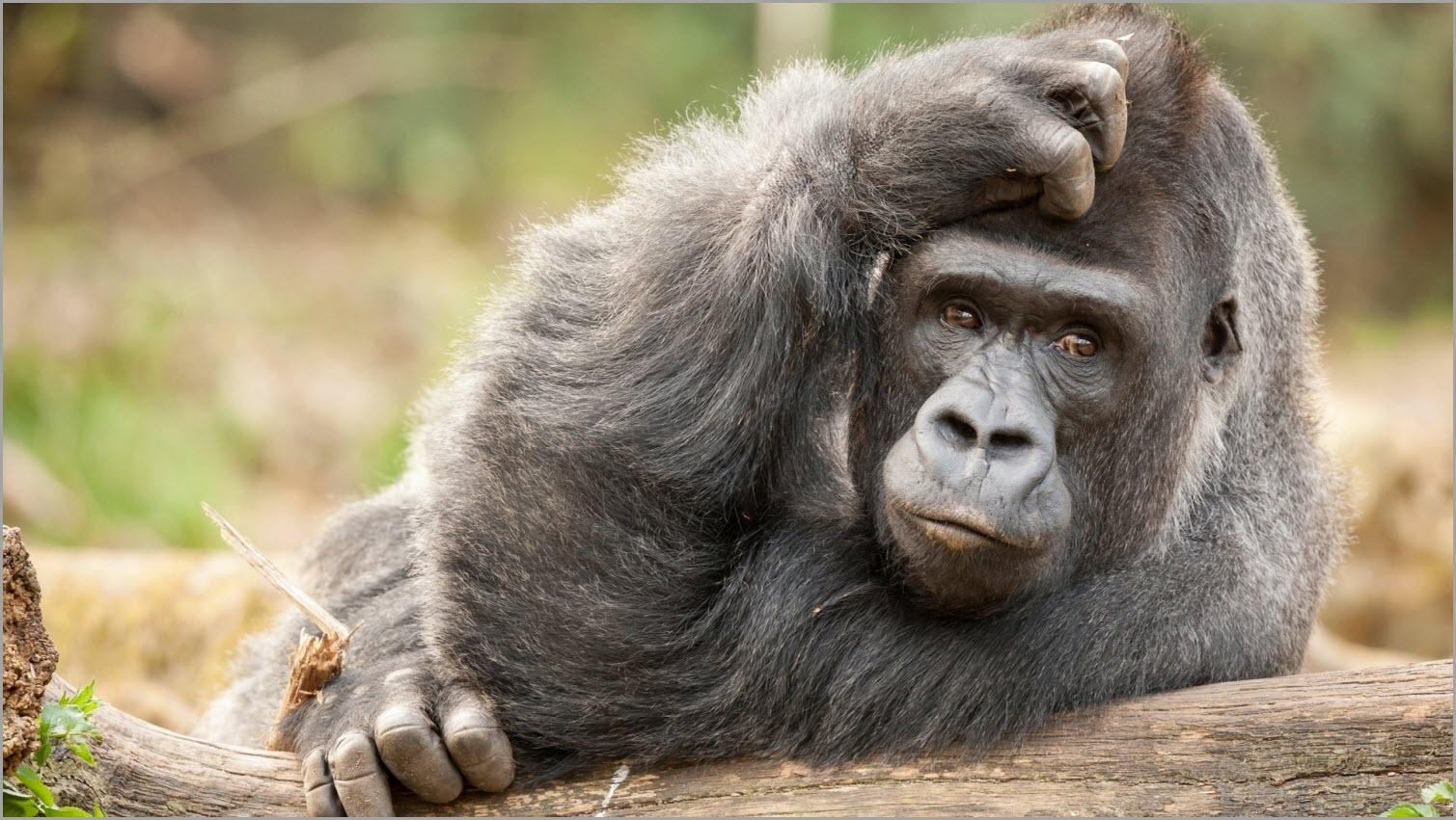 смешная горилла