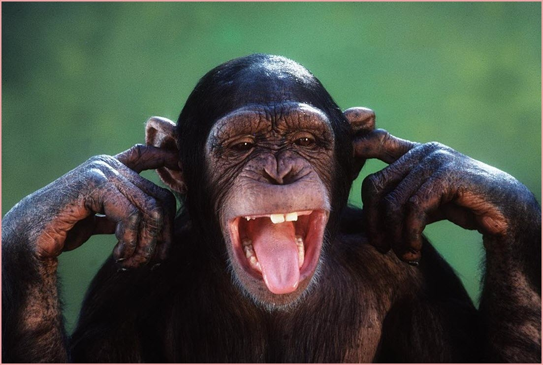обезьяна кривляется