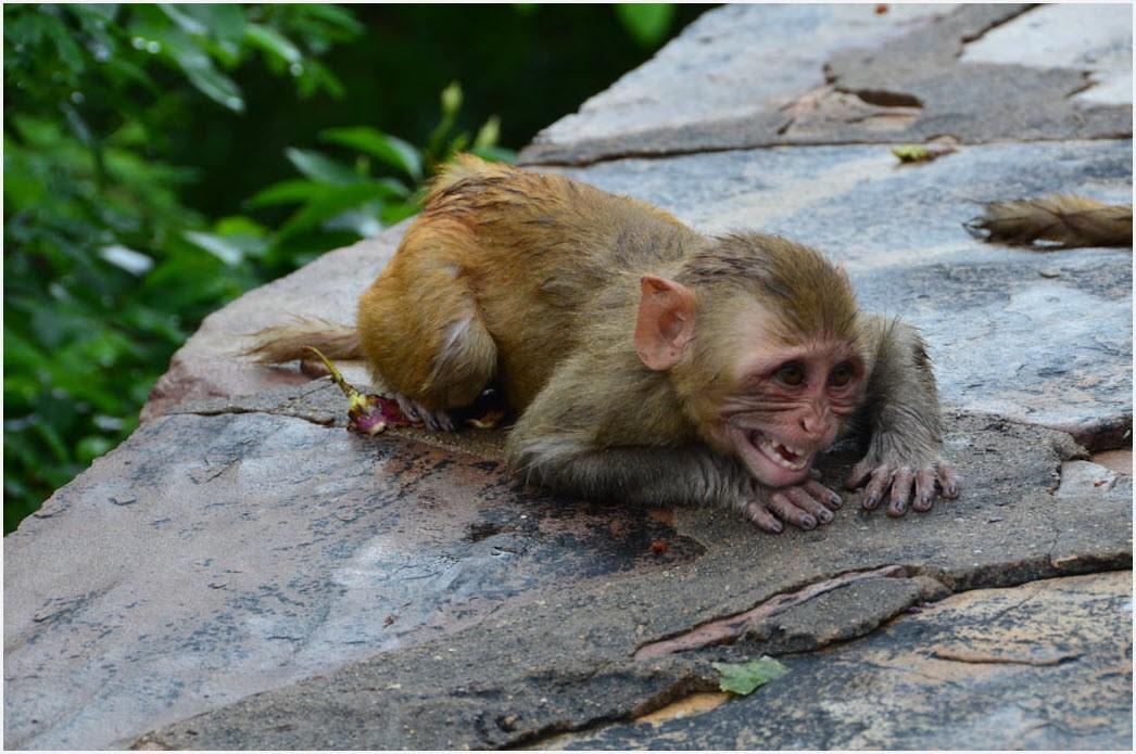 обезьяна лежит