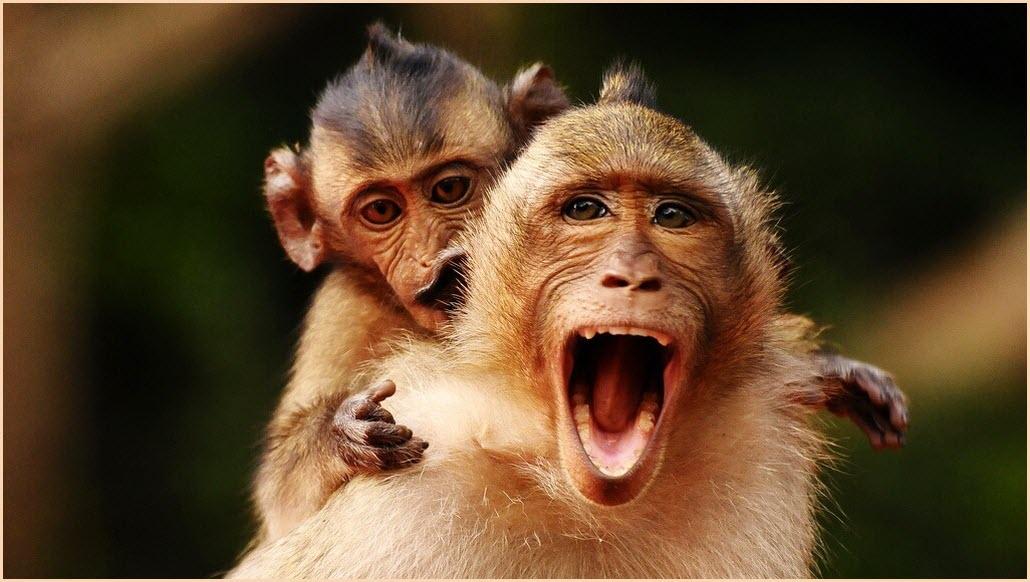 обезьяна орёт