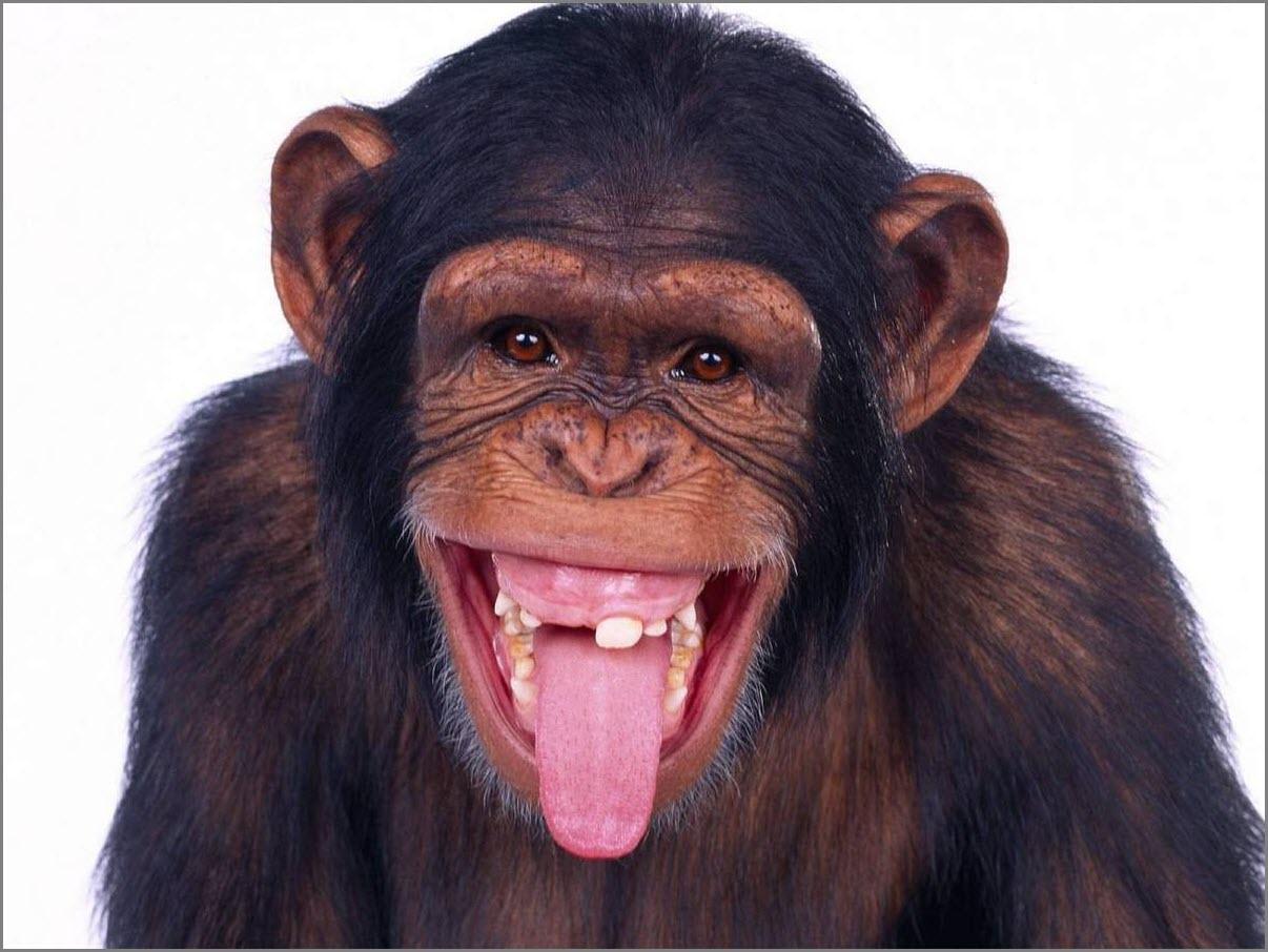 обезьяна язык показывает