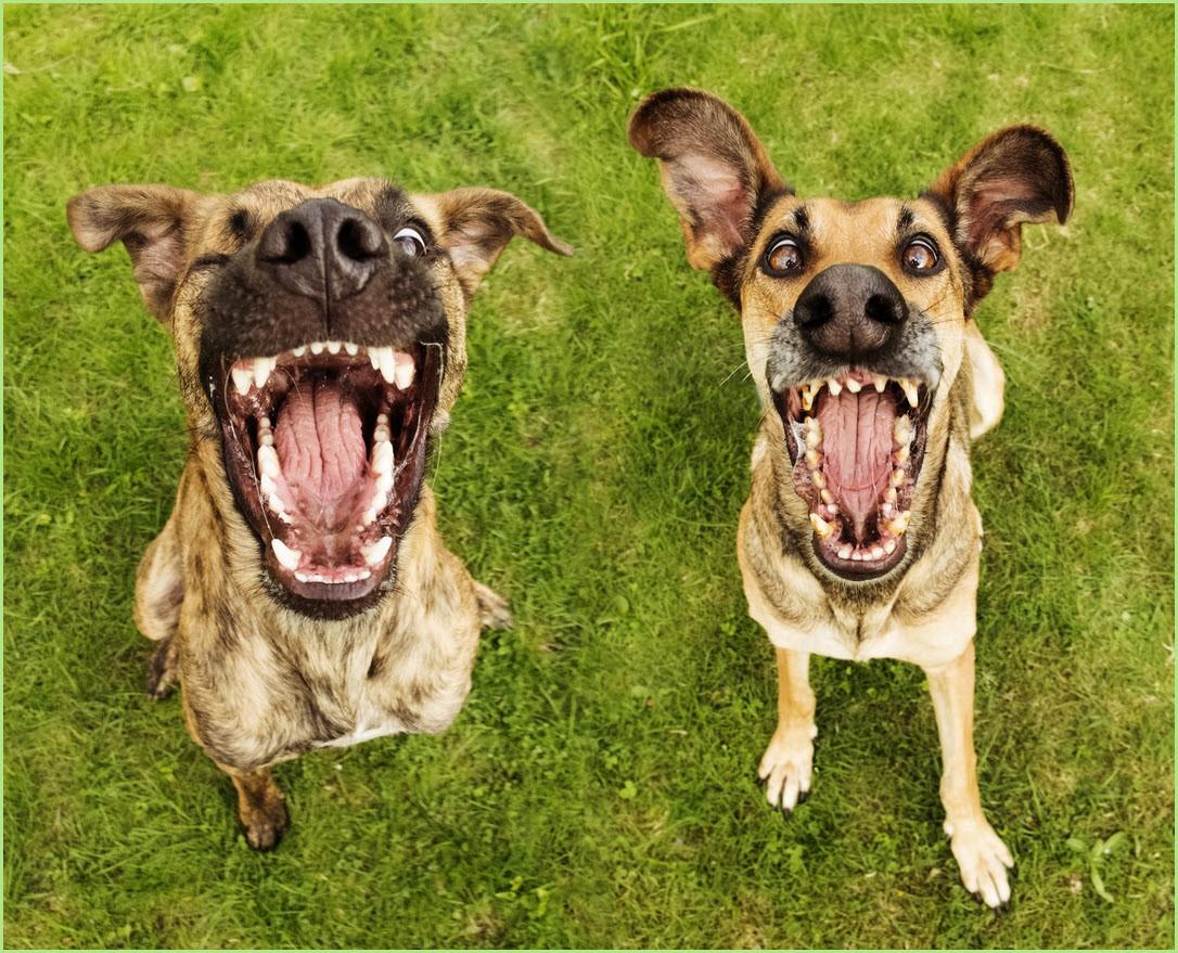 собаки лают