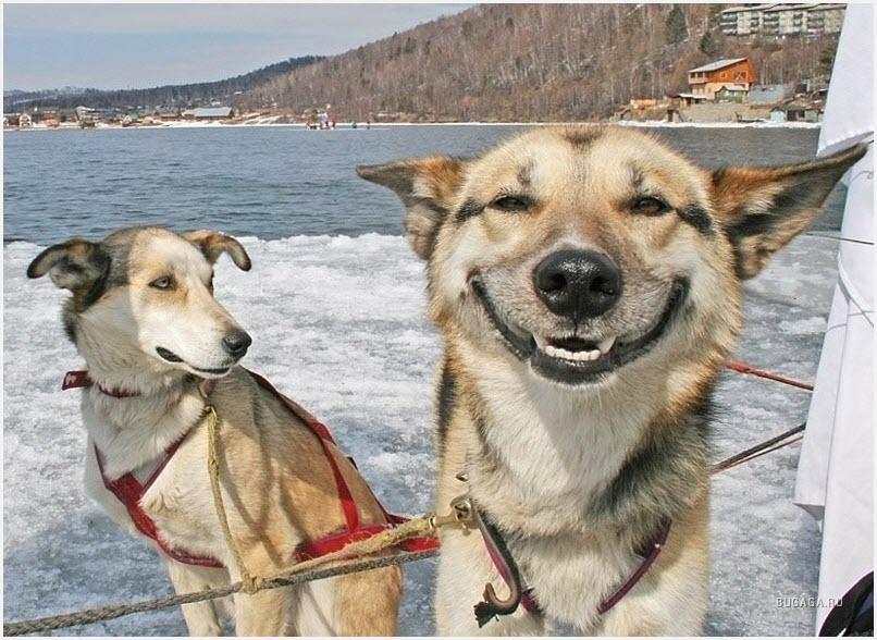 собаки улыбаются