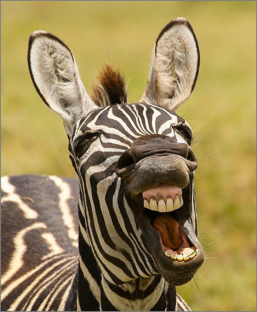 Смешная зебра