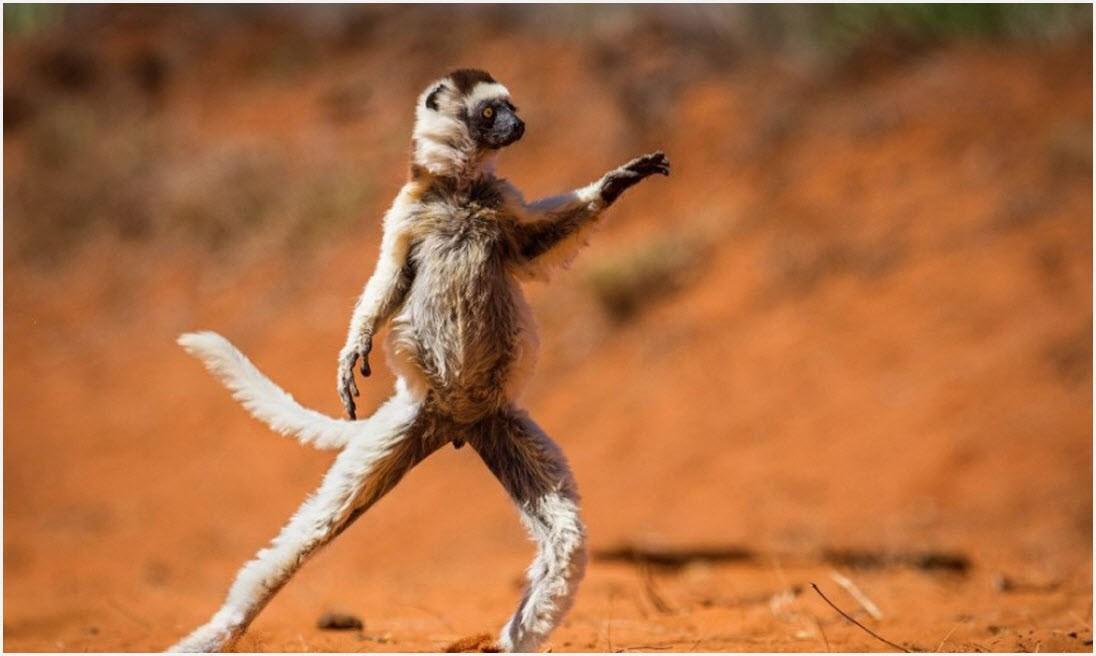 обезьянка танцует