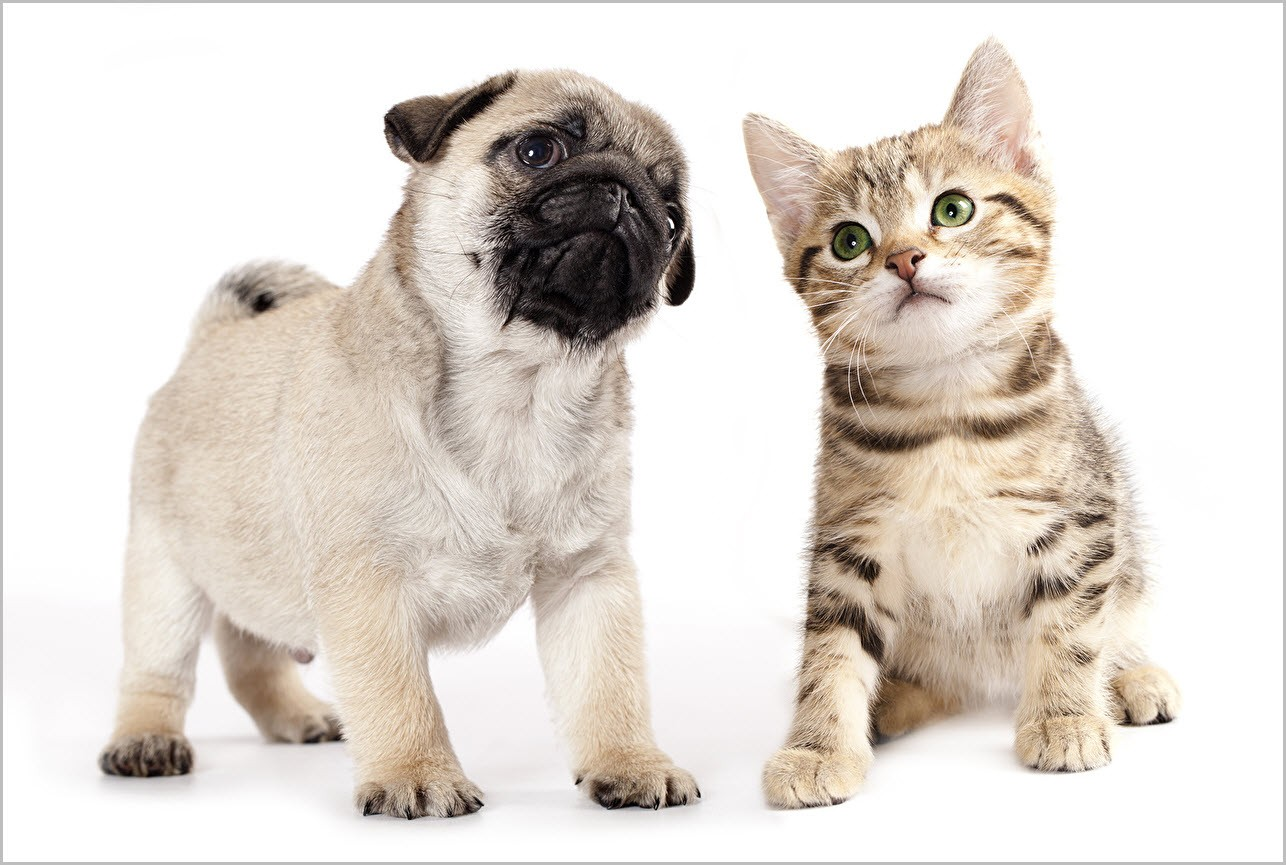 кот и бульдог