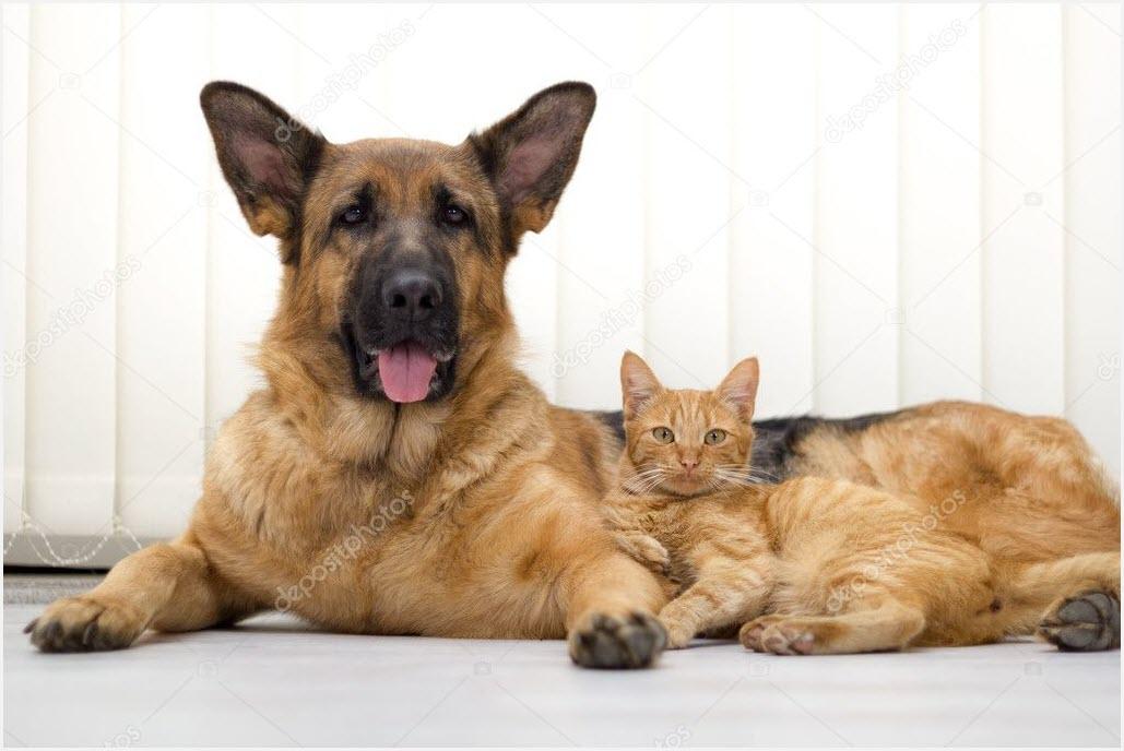 овчарка и кот