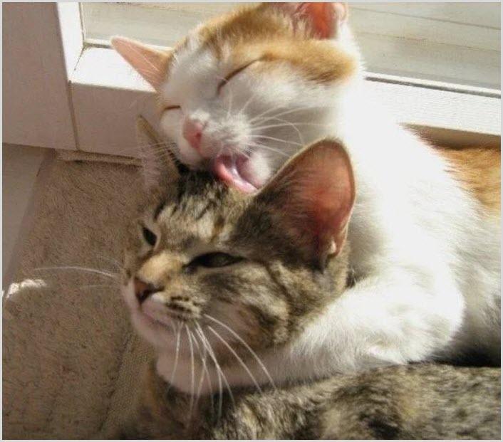 кот лижет кошку